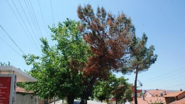 kızılcam agaclarini kurutan hasta dry pine tree disease