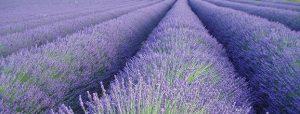 oregon-lavender_4x1